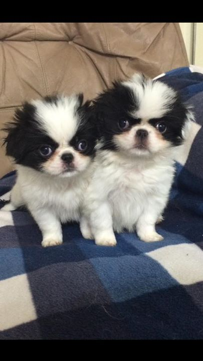 2 st japanese chin valpa spca sweden. Black Bedroom Furniture Sets. Home Design Ideas